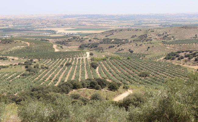 Vista del olivar de Zaytas